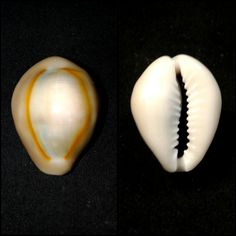 Monetaria anulus (Linneaus, 1758) - Northern Transkei