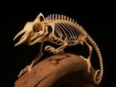 A chameleon skeleton. Wow, one of the most beautiful skeletons I have ever seen Skeleton Anatomy, Skeleton Bones, Skull And Bones, Animal Skeletons, Animal Skulls, Animal Anatomy, Animal Bones, Reptiles And Amphibians, Anatomy Reference