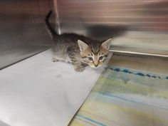 ADOPTED - Doug - URGENT - PIKE COUNTY ANIMAL SHELTER in Pikeville, Kentucky - ADOPT OR FOSTER - Male Domestic SH Mix KITTEN