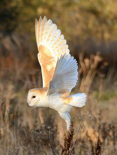 Barn Owl in flight 01 SHP by Steve Harber | Flickr