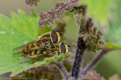 Fotó: Nookie In The Nettles  Hoverflies in flagrante delicto