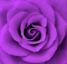i'll take a dozen...purple rose