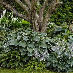 Shown: When a lawn runs right up to the base of a tree, mowers and string trimmers can damage the trunk. Ringing the tree with shade-tolerant hostas safeguards the bark and creates a focal point in the yard. Here, the large, variegated leaves of H. 'Tom Schmid' tower above smaller varieties  Photo: Alison Rosa | thisoldhouse.com | from Grow a Lush Shade Garden With Hostas @Joyce Booker Liu Rock - thought you might like this photo. It's been very popular