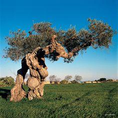 http://www.apuliadestination.com/ ulivo secolare salentino