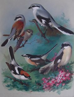 Archibald Thorburn one of Britain's finest Bird Artists