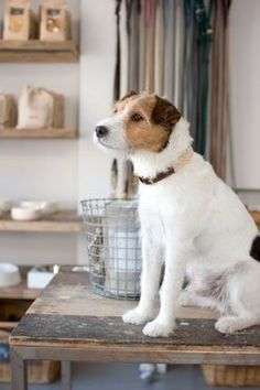 Handsome little Jack Russell Terrier!  This is the more manly small dog.