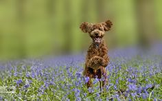 Poodle In The Bluebell Forest