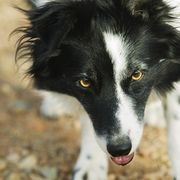 German Shepherds, Australian cattle dogs and border collies are just a few of the breeds that have a strong herding instinct. Many of these dogs also make active family pets and require a great deal of exercise. Finding games that will challenge these dogs while allowing them to work off some of their boundless energy is an essential part of...