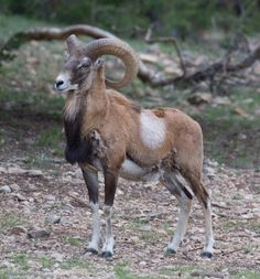 Iranian red sheep or Armenian mouflon (Ovis orientalis gmelini) is an endangered subspecies of mouflon endemic to Armenia, Iran and Nakhchivan Autonomous Republic of Azerbaijan.