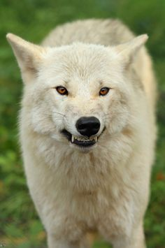 wolf pack gif | White Wolf Growling