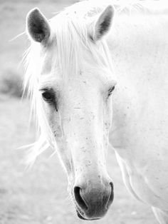 White Beauty Horse Photo, Digital Download, Fine Art, Nature Photography, Animal Photography, Black White Photography door SimplyDianaS op Etsy