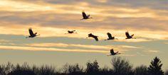 Sandhill Cranes, Horicon Marsh Wisconsin