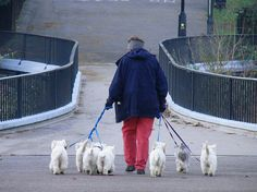 You can NEVER have enough Westies!