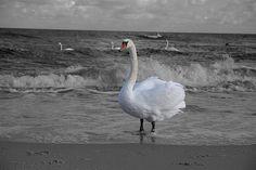 Schwan am Strand der Insel Usedom