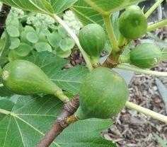 """Vijg, Ficus """"Carica""""; aug '17"""