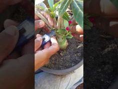 Como fazer mudas de Rosas do Deserto sem podar os galhos.#1° parte