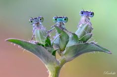 "Strange Animals on Twitter: ""An amazing shot of damselflies on a plant! (Photo: Roberto Aldrovandi) https://t.co/rEuxgecboJ"""