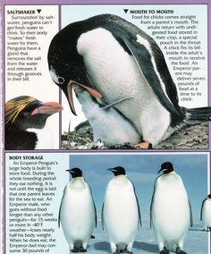 Penguin Facts | Penguin Place Tacky The Penguin, Penguin Love, Cute Penguins, Penguin Facts, Pandas Playing, Homeschool Kindergarten, Zoology, Antarctica, Animals For Kids