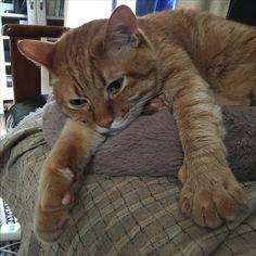 polydactyl kitty?
