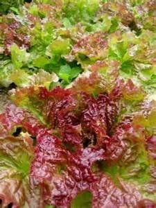 Red Leaf Lettuce Prizehead 250 Seeds *** Click image to review more details.