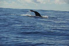 Sperm whale - Lobosonda's Blog | Madeira whale watching www.madeirawhalewatching.com