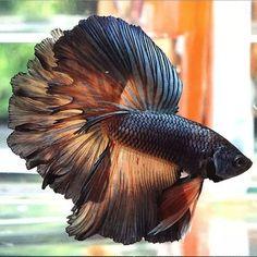 #fishtank #aquarium #freshwater #aquariumplants #aquaticplants #aquascape   These are the most common types of Betta fish  PLAKAT BETTA CROWNTAIL BETTA DOUBLE TAIL BETTA COMBTAIL BETTA ROSETAIL BETTA VEIL TAIL VT BETTA HALFMOON HM BETTA and other.