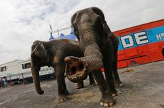 Circus animals of Mexico City - With the use of animals in Mexico City circuses soon to come to an end, Reuters photographer Henry Romero documented their current situation.
