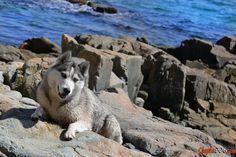 Malamute perro adorable de la foto