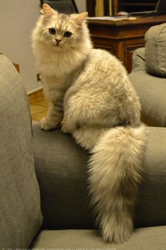 British Longhair Cat