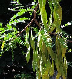 Gleditsia triacanthos (Acacia de tres espinas, Acacia de tres púas, Acacia negra). http://www.elhogarnatural.com/Arboles.htm