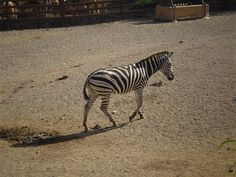Intelligently Designed Zebra Tail Is An Amazingly Effective Fly Swatter Giraffes, Zebras, Intelligent Design, Mosquitoes, Amazing, Animals, Smart Design, Animales, Animaux