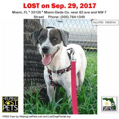 Please spread the word!  Latte was last seen near 82nd Ave and NW 7th Street in #Miami.  She is a white and brown female mixed breed.  Contact: redlandsrockpitabandoneddogs@gmail.com or (305) 764-1349.  More Info Photos and to Contact: http://ift.tt/2xX1cwv