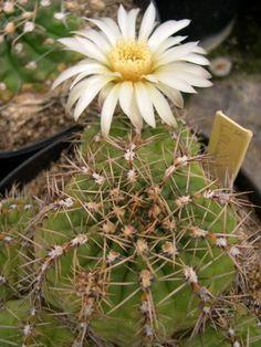 Gymnocalycium baldianum v. albiflora