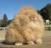 Lionhead bunny. The bunny king.