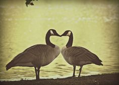 Canadian Geese Photography Gifts under 25,vintage,heart,wedding,nature,bird,true love,couple. $20.00, via Etsy.