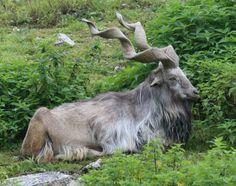 パキスタンの「国獣」かっこよすぎワロタwwwwwwwwwwwwwwwwwww (※画像あり) : ラビット速報  マーコール(Capra falconeri)は、動物界脊索動物門哺乳綱ウシ目(偶蹄目)ウシ科ヤギ属に分類される偶蹄類。