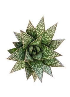 An excellent plant for areas with very low light. Commonly used as windowsill or house plants. Will thrive in bright, filtered light as well. Porous soil with adequate drainage. Office Plants, Window Sill, Low Lights, Houseplants, Cactus, Succulents, Flowers, Bright