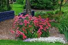 """Jeżówka (Echinacea) """"Pow Wow WIld Berry""""  Bylina dorastająca do 50-70 cm, o zwartych i wyprostowanych łodygach oraz szorstkawych, ciemnozielonych liściach. Kwiaty zebrane w koszyczki, ciemnomalinoworóżowe nie zmieniające zabarwienia. Kwiatostany średnicy 7-10 cm, delikatnie pachnące. Kwitnie od końca czerwca do końca września."""