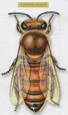Bees are social insects which live in organised communities.They live in colonies usually of between insects. I Love Bees, Birds And The Bees, Worker Bee, Raising Bees, Buzzy Bee, Bee Skep, Bees And Wasps, Bee Art, Save The Bees