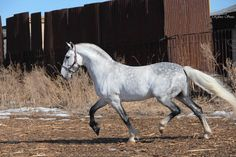 Russian horses Orlov Trotter