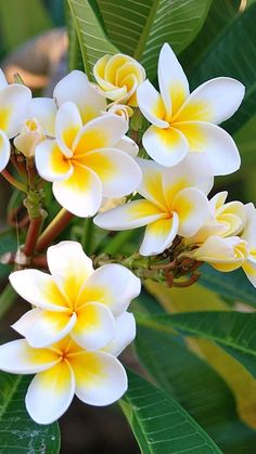 Plumeria is a genus of flowering plants in the dogbane family, Apocynaceae. It…