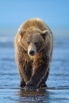 Grizzly Bear in Alaska <3