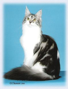 Maine Coon, Bicolour, Black Silver Blotched & White. Chamberlain If You Are Mine Silver Cat, Black Silver, Dee Dee, Anubis, Maine Coon Cats, Kitty Cats, Cats And Kittens, Warrior Cats, Cat Breeds