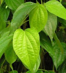 Manfaat daun sirih untuk jerawat - Manfaat dan khasiat