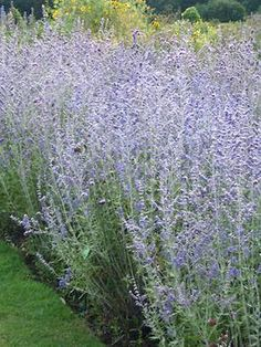 his woody multi-stemmed sub-shrub is a low-maintenance plant. Silvery-green delicate foliage is complemented by striking lavender-blue flowers. Produces 12-inch spiky blooms from July through frost; when in full bloom, creates a misty-blue haze. Has an airy habit. Flowerheads and silvery stems have added winter interest.  Plant size reaches four to five feet tall by three to four feet wide.