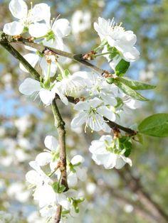 Bloesem fruitboomgaard