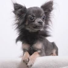Image Result For Long Haired Brown Chihuahua With Cataracts Blue