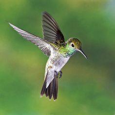 Mangrove Hummingbird, endangered  ;)