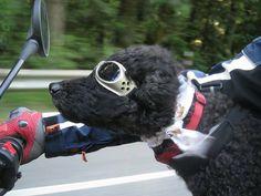 Cooler Hund - In welcher Motorrad-Gang der wohl ist? Hells Angels oder Bandidos?