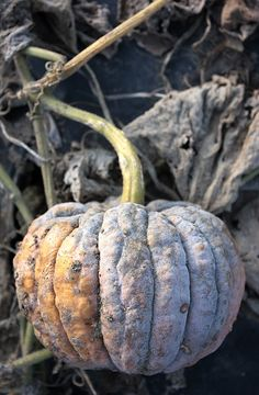 Black Futsu Pumpkin 3-7 pounds. Japanese heirloom that is very sweet to eat.